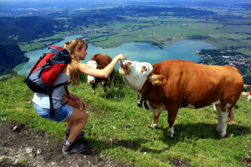 Die lustigen Kühe auf dem Jochberg. Und ich! ;)